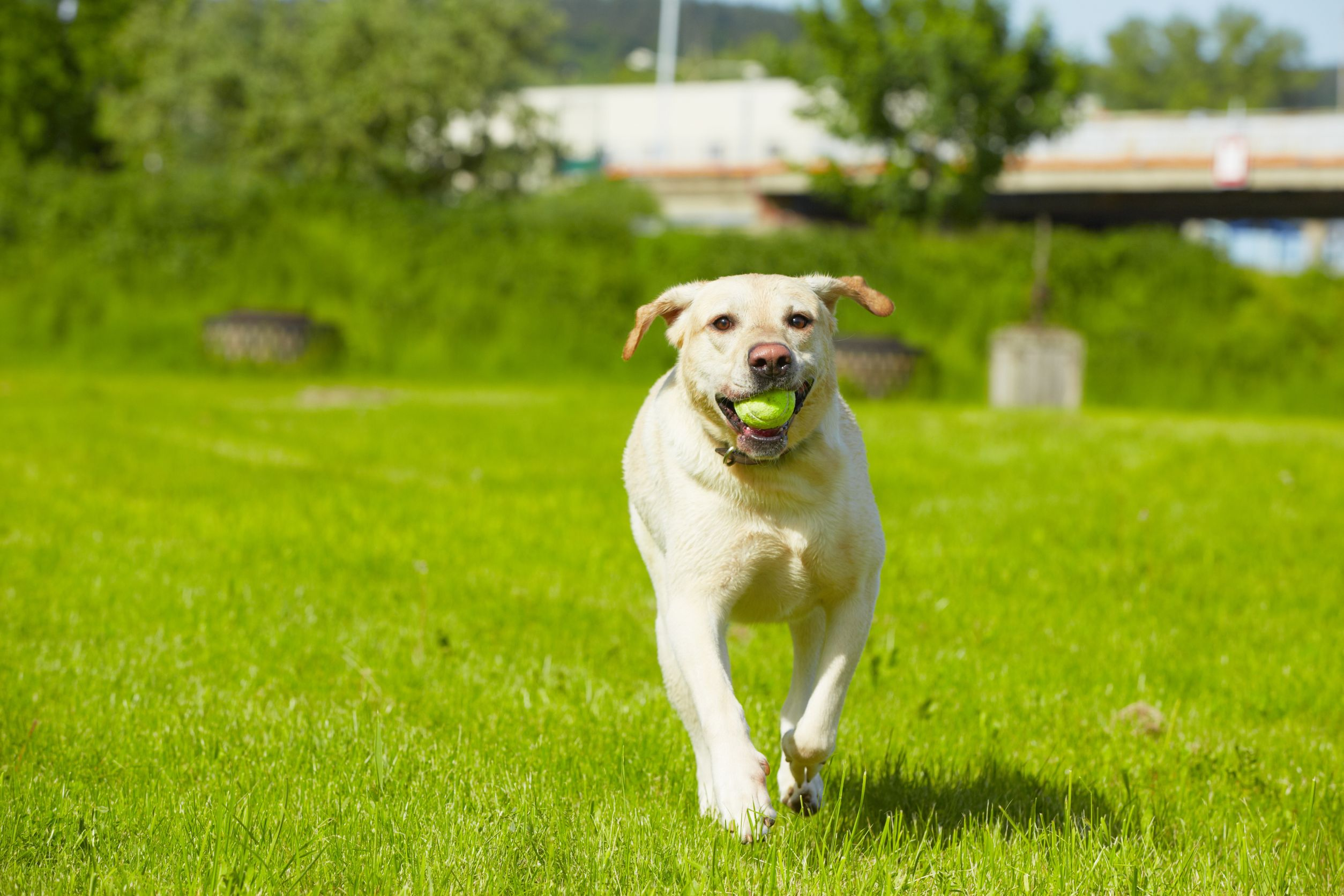 Happy Healthy Dog Running with Ball
